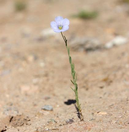 Wildflower in Desert